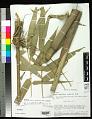 View Arthrostylidium pubescens Rupr. digital asset number 0