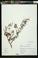 View Hibiscus humbertianus Hochr. digital asset number 0