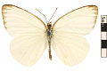 View Great Southern White digital asset number 0