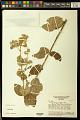 View Banisteriopsis variabilis B. Gates digital asset number 0