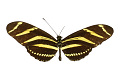 View Zebra Longwing, Zebra Longwing, Longwing digital asset number 2