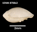 View Marginella amoena digital asset number 3