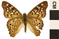 View Hackberry Emperor digital asset number 0