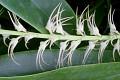 View Bulbophyllum cocoinum Bateman ex Lindl. digital asset number 2