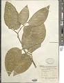 View Intsia bijuga (Colebr.) Kuntze digital asset number 1