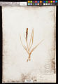 View Carex nebrascensis Dewey digital asset number 0