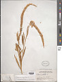 View Celosia argentea L. digital asset number 1