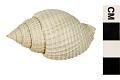 View Nutmeg Shell digital asset number 5