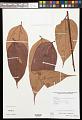 View Theobroma bernouillii subsp. capilliferum (Cuatrec.) Cuatrec. digital asset number 0