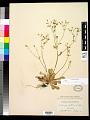 View Micranthes ferruginea (Graham) Brouillet & Gornall digital asset number 0