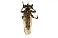 View Giant Robber Fly digital asset number 0