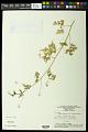View Cardiospermum halicacabum L. digital asset number 0