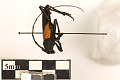 View Long-horned Beetle digital asset number 3
