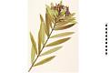 View Oleander digital asset number 1