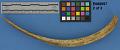 View Deer Rib Bones For Preparing Cedar Bark (1 Lot) digital asset number 4