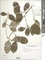 View Chrysophyllum argenteum Jacq. digital asset number 1