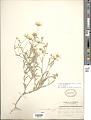 View Melampodium leucanthum Torr. & A. Gray digital asset number 1