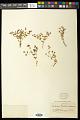 View Euphorbia chaetocalyx Tidestr. digital asset number 0