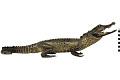 View Marsh Crocodile, Mugger Crocodile digital asset number 4