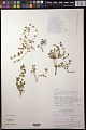View Euphorbia chamaeclada Ule digital asset number 0