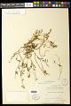 View Euphorbia polygonifolia L. digital asset number 0