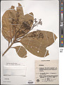 View Nectandra cissiflora Nees digital asset number 1