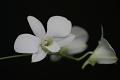 View Dendrobium bigibbum Lindl. digital asset number 2