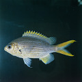 View Chromis xanthopterygia Randall & McCarthy digital asset number 1