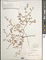 View Euphorbia geyeri Engelm. digital asset number 1