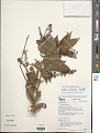 View Paullinia caloptera Radlk. digital asset number 2