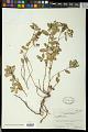 View Euphorbia chamissonis (Klotzsch ex Klotzsch & Garcke) Boiss. digital asset number 0