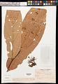 View Theobroma speciosum Willd. ex Spreng. digital asset number 0