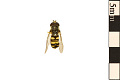 View American Hoverfly, Syrphid Fly digital asset number 0