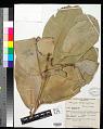 View Mammea ochrocarpus (Raf.) Kosterm. digital asset number 0