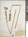 View Euphorbia corollata L. digital asset number 1