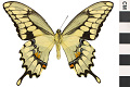 View Giant Swallowtail digital asset number 1