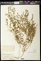 View Euphorbia glyptosperma Engelm. digital asset number 0
