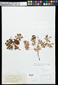View Amoreuxia palmatifida Moc. & Sessé ex DC. digital asset number 0