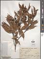 View Ocotea nectandrifolia Mez digital asset number 1