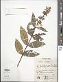View Qualea multiflora Mart. subsp. multiflora digital asset number 1
