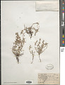 View Euphorbia cinerascens Engelm. in Emory digital asset number 1