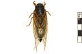 View Seventeen-year Cicada, Periodical Cicada digital asset number 0