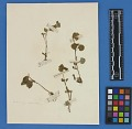 View Botanical Specimens From Quileute Indians digital asset number 29