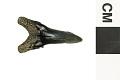 View Fossil Shark, Weasel shark, Snaggletooth shark digital asset number 2