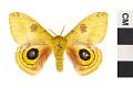 View Io Moth digital asset number 2