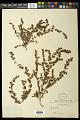 View Euphorbia mendezii Boiss. digital asset number 0
