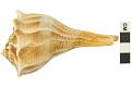 View Lightning Whelk, Lightening Whelk, Fossil shell digital asset number 2