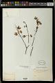 View Euphorbia schlechtendalii Boiss. digital asset number 0