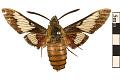 View Hummingbird Clearwing, Hummingbird Sphinx digital asset number 0