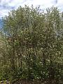 View Photinia pyrifolia (Lam.) K.R. Robertson & J.B. Phipps digital asset number 0